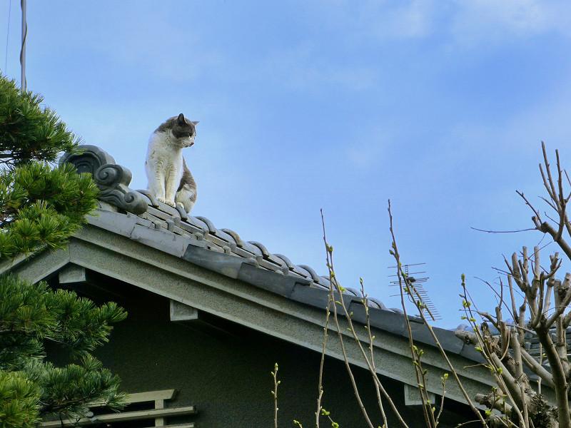 屋根の上のグレー白猫1