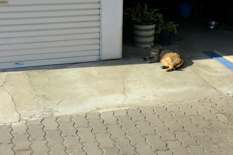 ガレージ入り口のサビ猫1
