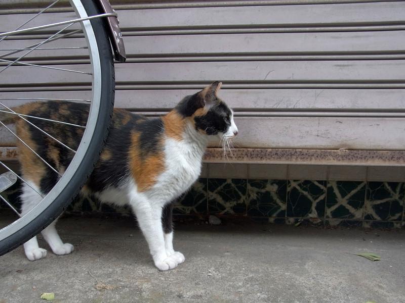 無視を続ける三毛猫1