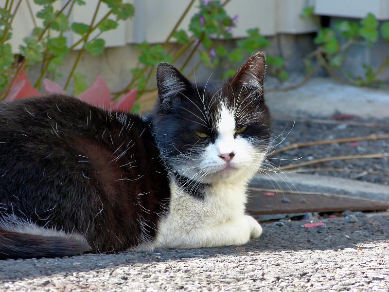 駐車場の黒白猫の睨み顔2
