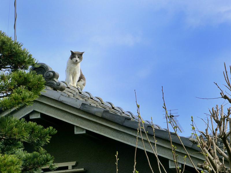 屋根の上のグレー白猫2
