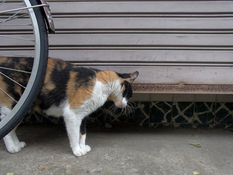 無視を続ける三毛猫2