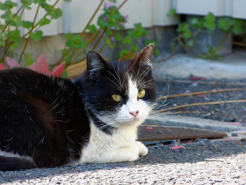駐車場の黒白猫の睨み顔3
