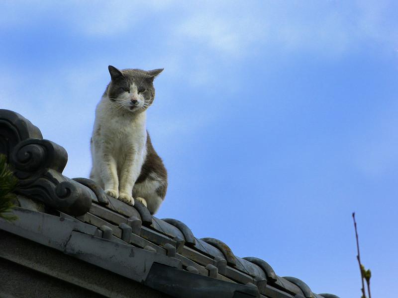 屋根の上のグレー白猫3