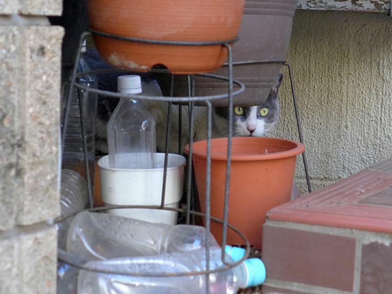 物の向こうのグレー白猫1