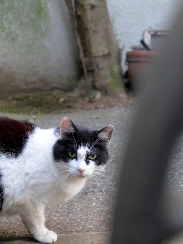 門扉の隙間から見つめる黒白猫1