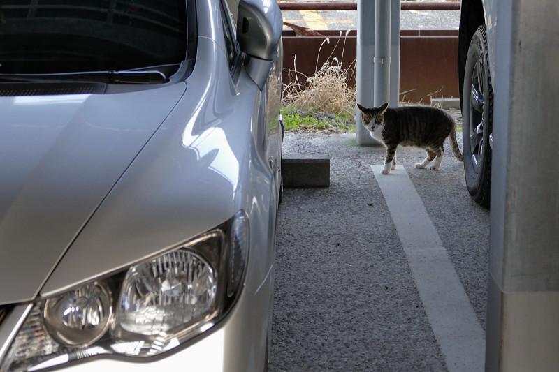 ガレージで近寄って来たキジ白猫1