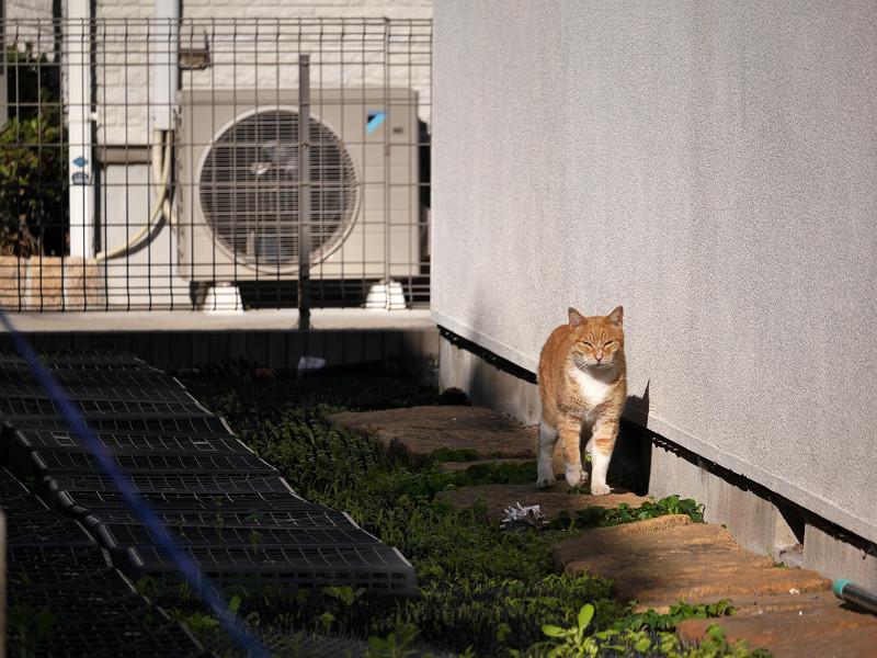 壁沿いに歩く茶白猫1