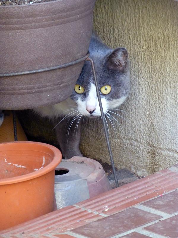 物の向こうのグレー白猫2