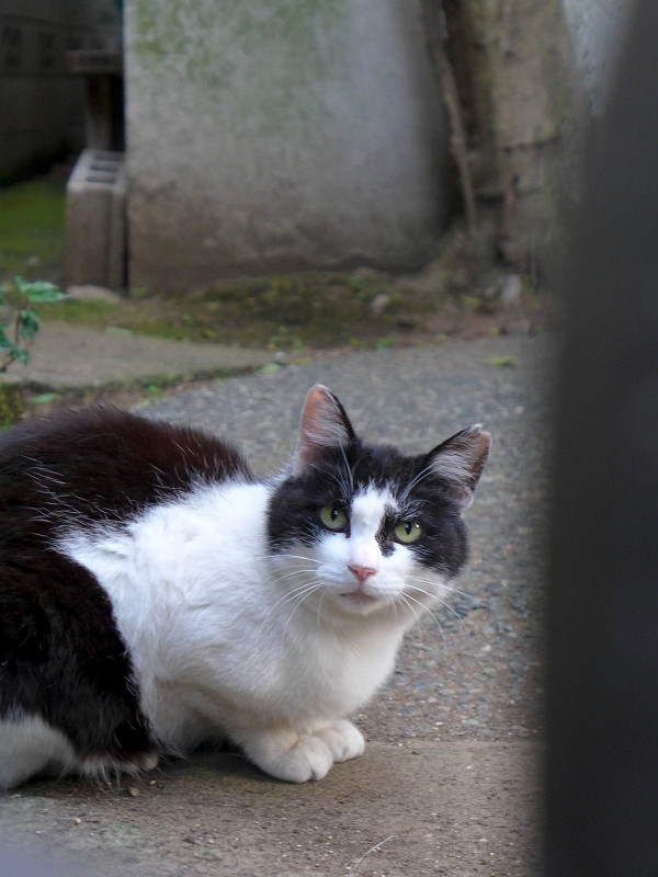 門扉の隙間から見つめる黒白猫2