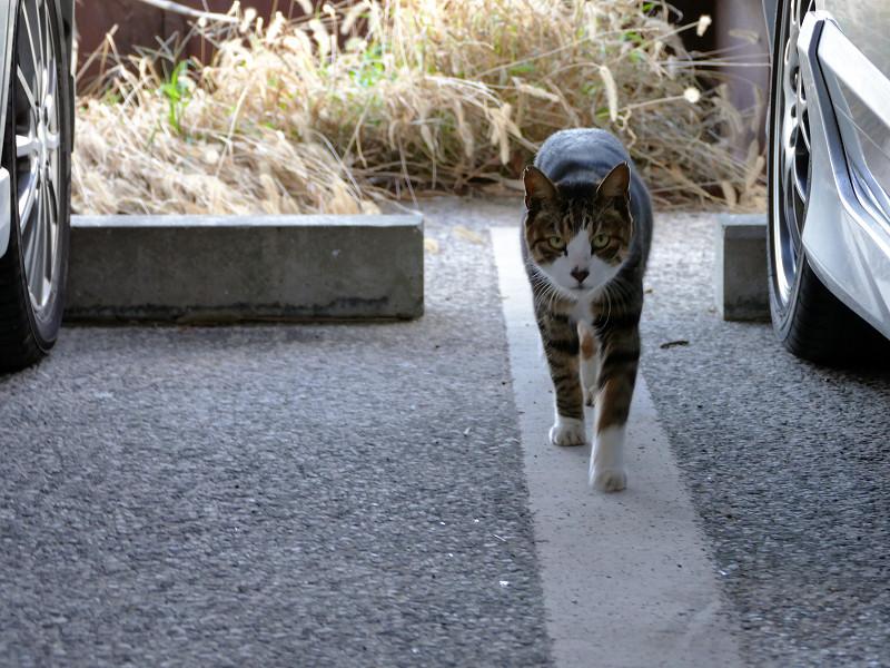 ガレージで近寄って来たキジ白猫2