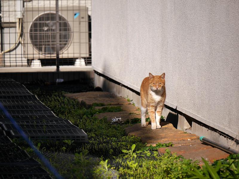 壁沿いに歩く茶白猫2