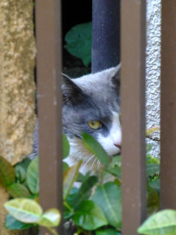 物の向こうのグレー白猫3