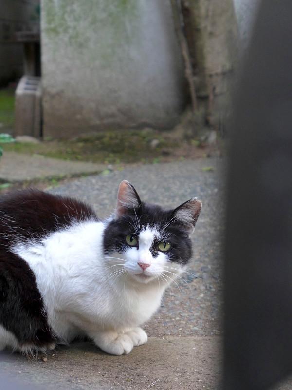 門扉の隙間から見つめる黒白猫3