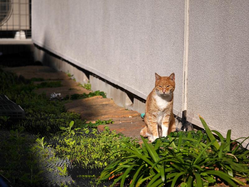 壁沿いに歩く茶白猫3
