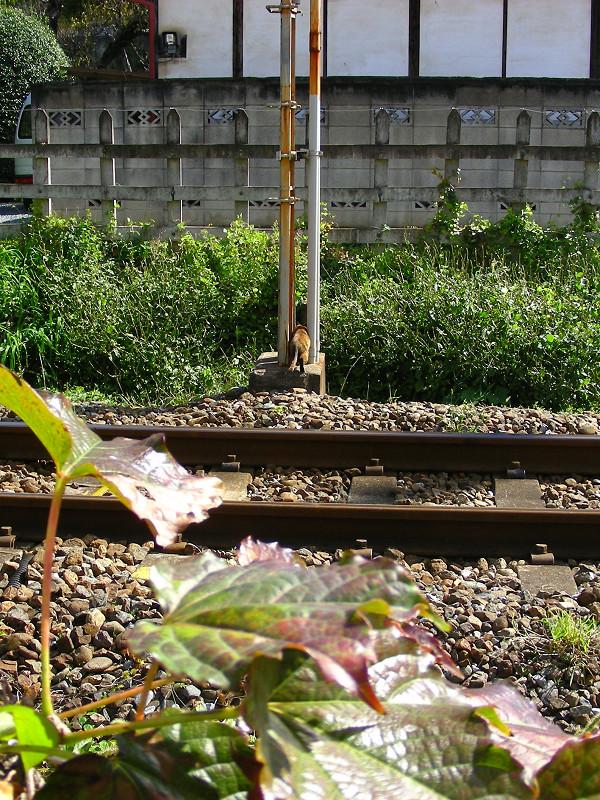 線路とサビ柄猫1