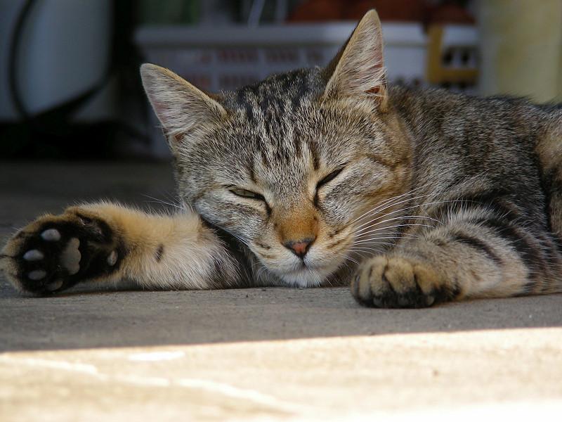 薄目を開けたキジトラ猫1