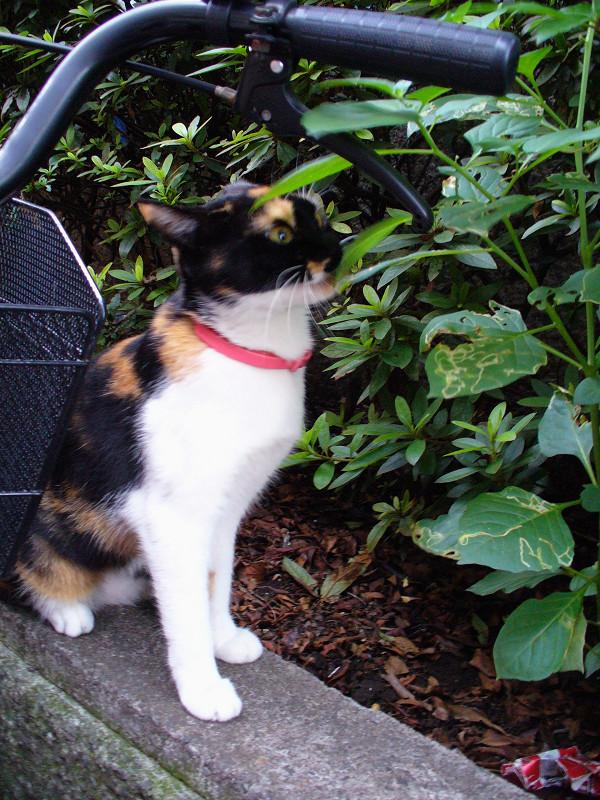 赤い首輪の三毛猫1