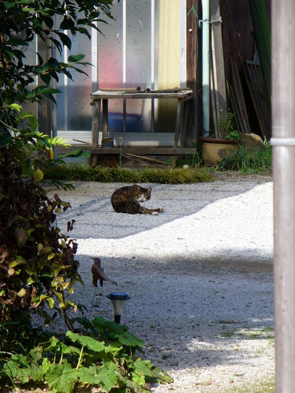 敷地内砂利の上のキジトラ猫1