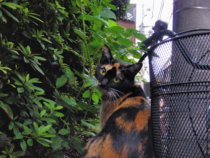 赤い首輪の三毛猫2