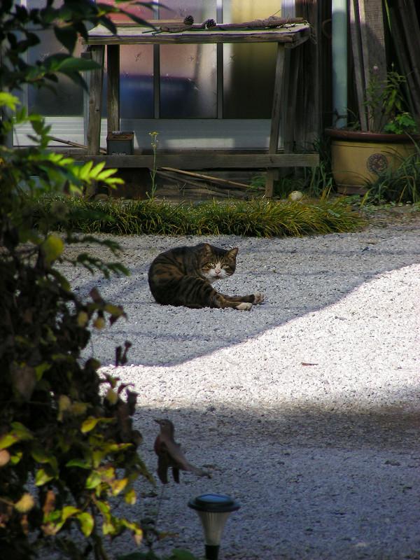 敷地内砂利の上のキジトラ猫2