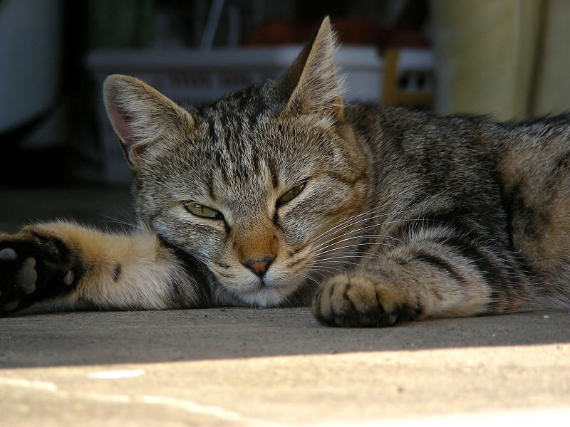 薄目を開けたキジトラ猫2