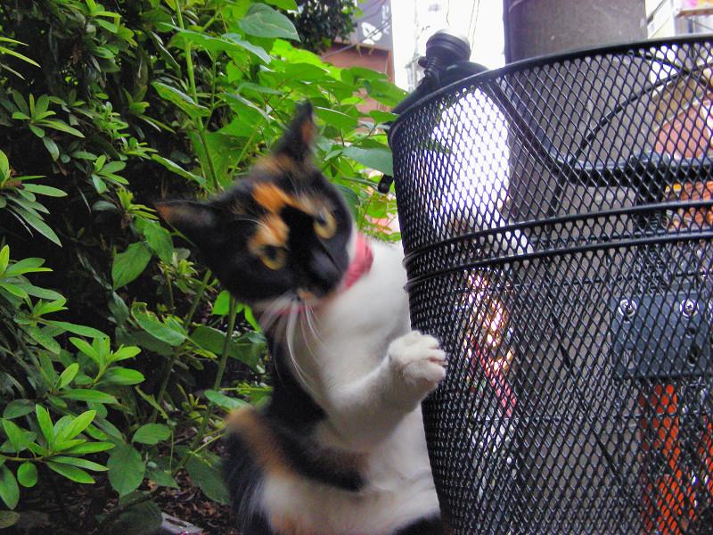 赤い首輪の三毛猫3