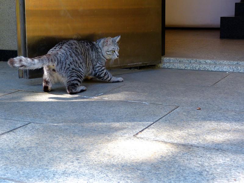 お堂前で動き回るサバトラ猫1