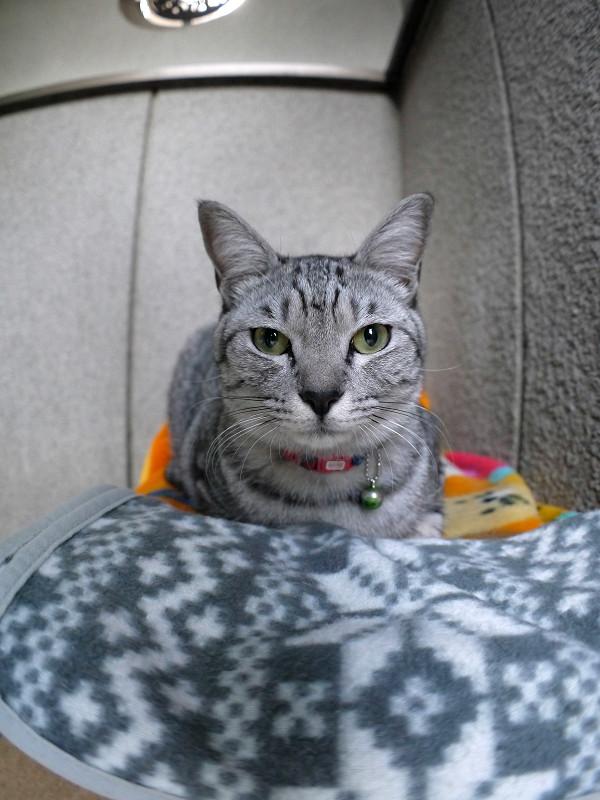 毛布に乗ってるサバトラ猫1