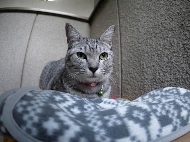 毛布に乗ってるサバトラ猫2