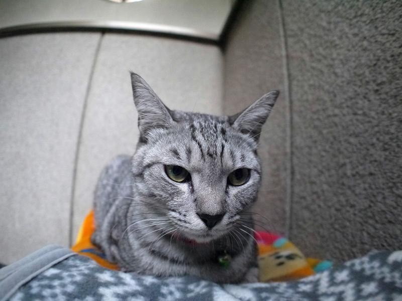 毛布に乗ってるサバトラ猫3
