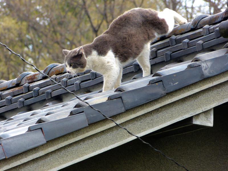 屋根の上を歩くグレー白猫1