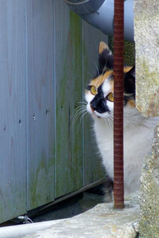 塀の隙間の三毛猫1