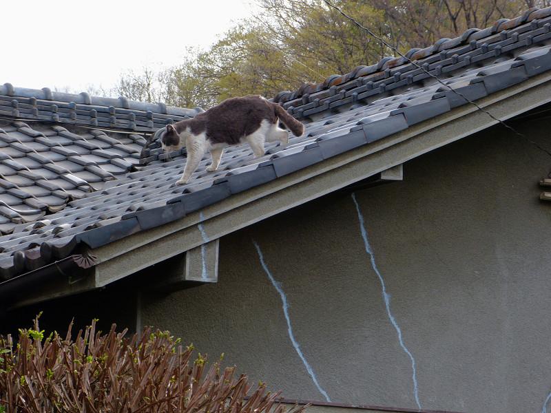 屋根の上を歩くグレー白猫2