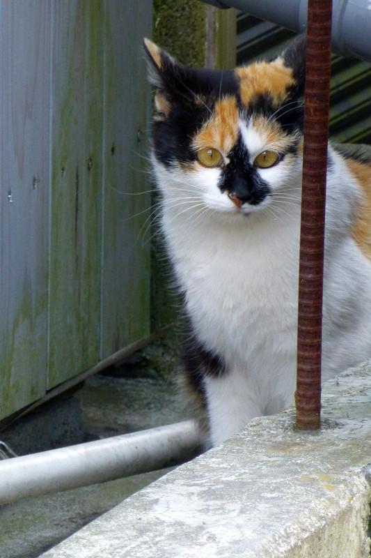 塀の隙間の三毛猫2