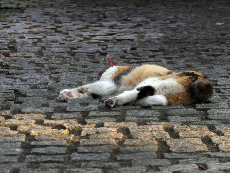 石畳で寝ている三毛猫2