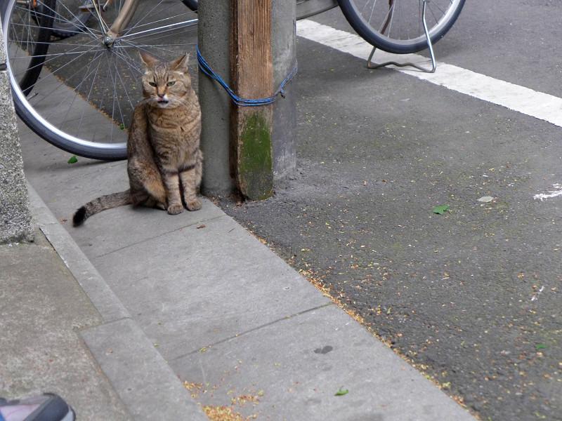 電信柱とキジ白猫1