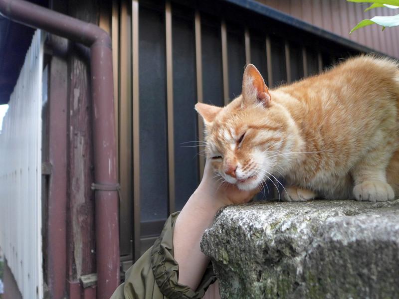 門柱で触られまくる茶トラ猫1