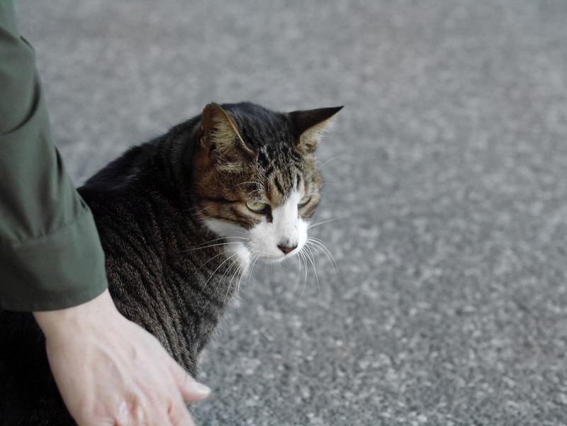 触らせてくれたキジ白猫1