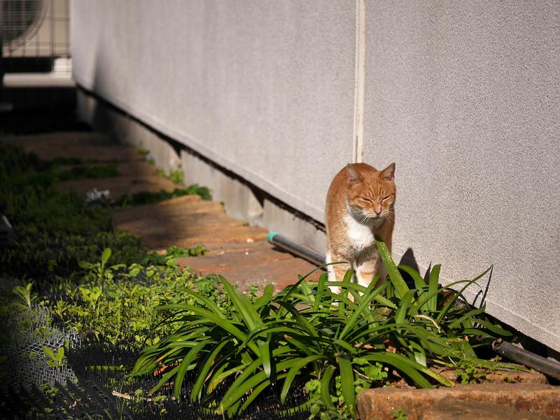 草むらを飛び越そうとする茶白猫1