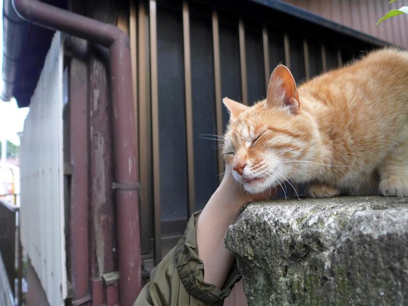 門柱で触られまくる茶トラ猫2