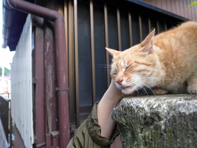 門柱で触られまくる茶トラ猫3
