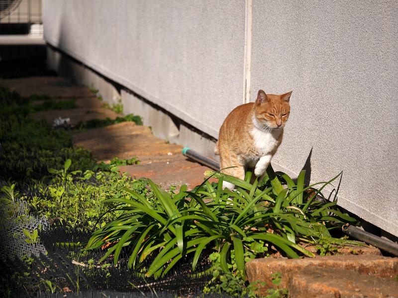 草むらを飛び越そうとする茶白猫3