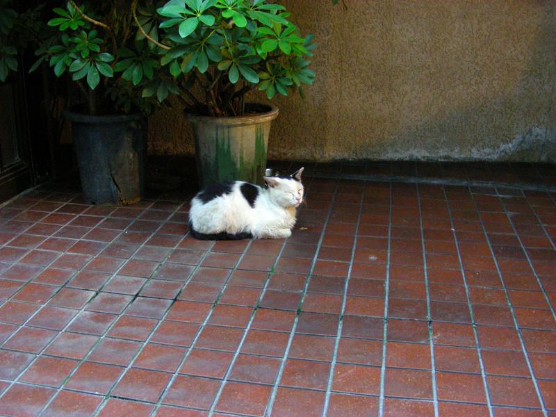 茶色タイルと白黒猫1