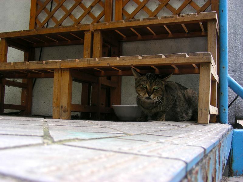 木製ベンチ下のキジトラ猫1