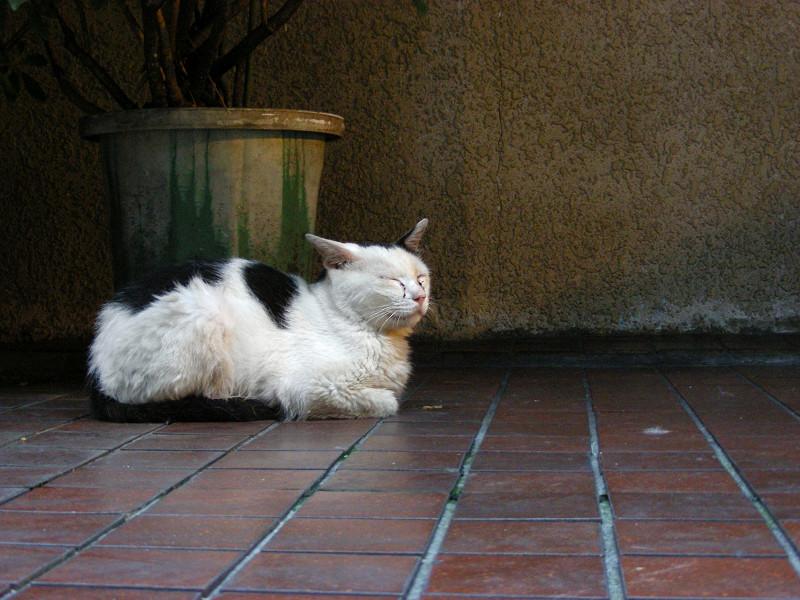 茶色タイルと白黒猫2