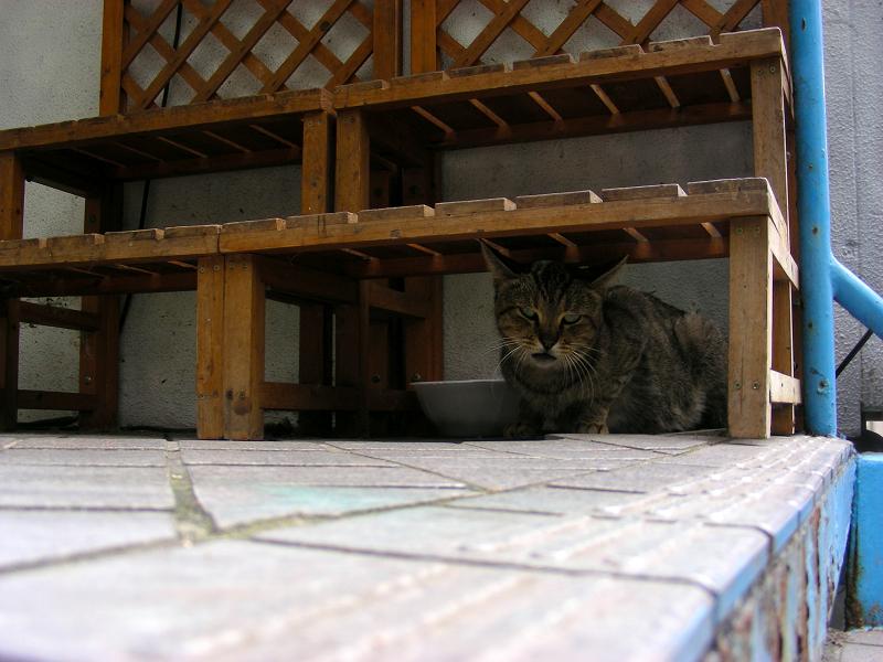 木製ベンチ下のキジトラ猫2