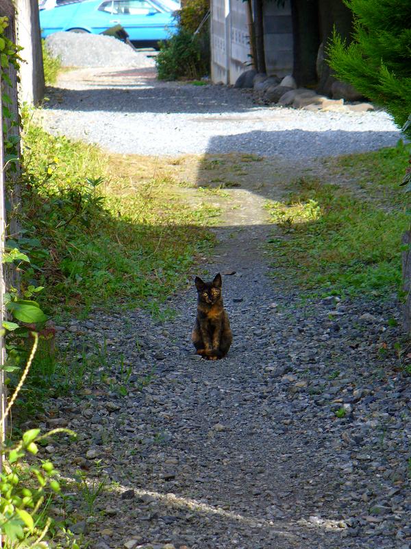 砂利路地のサビ柄猫2