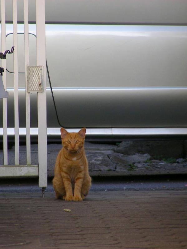 立ち止まった茶トラ猫3