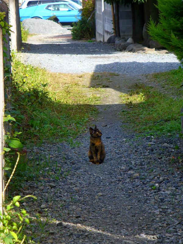 砂利路地のサビ柄猫3
